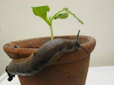 Comment éloigner les limaces des plantes avec du marc de café
