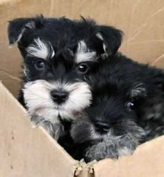 Ranked as one of the most popular dog breeds in the world, the Miniature Schnauzer is a cute little square faced furry coat. It is among the top twenty fav Puppies For Sale, Cute Puppies, Cute Dogs, Dogs And Puppies, Doggies, Schnauzer Breed, Miniature Schnauzer Puppies, Mini Schnauzer For Sale, Standard Schnauzer