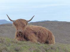 Highland Cow @ The Isle of Skye Scotland Photo taken by Yasemin Onal #animals #scotland #isleofskye #cows #highlands #nature #bestoftheday