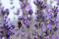 Лавандовые поля Крым пчела   #фототур #крым #фотоинстаграм #фотозона #fotografia #море #горы #фотолаванда Фототуры в Крым #Lavender #lavender #provence #freshflowers #flowers #violet #lilac #Lilac #amethyst