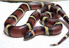 Iowa Milk Snake