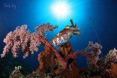 Cuttlefish | por Randi Ang