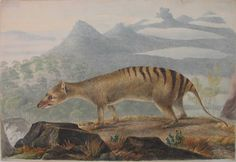 A painting of the carnivorous marsupial known as the thylacine or Tasmanian tiger, which went extinct 75 years ago. Extinct Animals, Prehistoric Animals, Bizarre Animals, Rare Animals, Australian Painting, Australian Artists, Tasmanian Tiger, Quokka, Animal Habitats