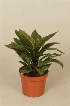 Dropbox - Cordyline frut. Green Compacta.jpg