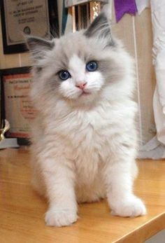 adorable blue eyed kitten