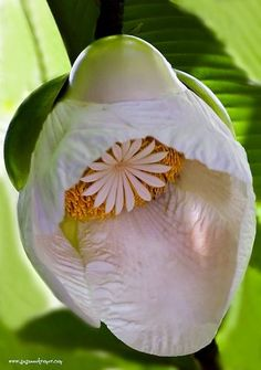 Elephant Apple Flower...oh my goodness...how unusual is this!!