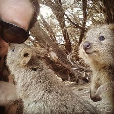 met those friendly guys at rottnest island today :) They're totally cute and smile the whole  time  seems as they've a pretty happy life  #quokka #quokkaselfie #finally #friendley #animals #wildlife #australia #rottnestisland #perth #rottnestexpress #inlove #smile  #rotto #happiestanimalintheworld #cute #adorable #thisisWA #travelling #juliadownunder #wanderlust #leavingwatomorrow #<3 by ojuelia http://ift.tt/1L5GqLp