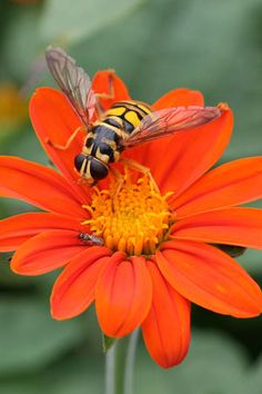 Syrphid fly and sweat bee on Mexican sunflower (Tithonia). Gallery of North Carolina Pollinators. Photo by Debbie Roos, Agricultural Extension Agent. all rights reserved