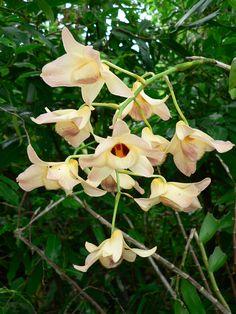 Dendrobium Moschatum   Dendrobium moschatum