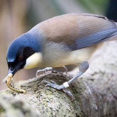 Blue-crowned laughing thrush
