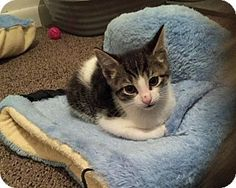 Hi guys! My name is Tinsel. I was born in the Rescue on December 19, 2016. I just turned 9 weeks old and I'm ready to find a loving family and home of my own. My mama Noodles is also up for adoption. We have a close bond. She took wonderful care of me and my littermates. I am a very handsome, playful and affectionate little boy. Every toy is my favorite. $100