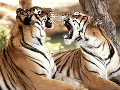 Tigres conversando
