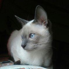 Tango, blue point siamese cat