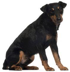 german jack russell terrier | ... with Jack Russell Terrier / Pätkä mäyräjahdista [ Re: HWY_MAN