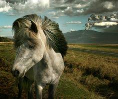 Volcanic eruption & Icelandic Horse