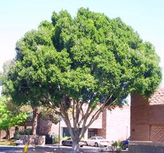 indian laurel multi trunk