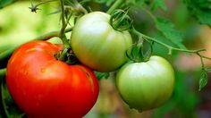 Tomato blight disease fighters: how to solarize soil; how to sanitize garden to get rid of blight; avoid blight next year; keep blight away from… Growing Tomatoes From Seed, Growing Tomato Plants, Growing Tomatoes In Containers, Grow Tomatoes, Dried Tomatoes, Heirloom Tomatoes, Roasted Tomatoes, Cherry Tomatoes, Easy Vegetables To Grow