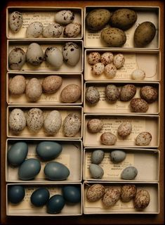 Song bird eggs from the Delaware Museum of Natural History Natural World, Natural History, Song Sparrow, Fotografia Macro, Raising Chickens, Raising Quail, Keeping Chickens, Back To Nature, Displaying Collections