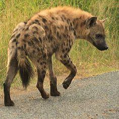 Hyena - Kenya
