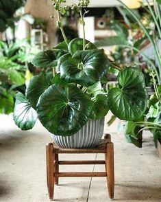 My love for Farfugium Japonicum runs deep. This vintage plant stand matched with a new modern pot really sets this guy off. I see you Walt… Indoor Garden, Garden Plants, Indoor Plants, Begonia, Cool Plants, Live Plants, Leopard Plant, Belle Plante, Plants Are Friends