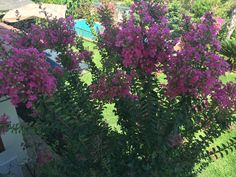 Oya ağacımın zarif pembe çiçekleri evinin 2.katına ulaşmışlar...