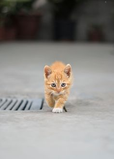 """The orange little panther..... =^..^=Thanks, Pinterest Pinners, for stopping by, viewing, re-pinning, & following my boards. Have a beautiful day! ^..^ and """"Feel free to share on Pinterest ^..^ #catsandme #cats #doghealthcareblog"""