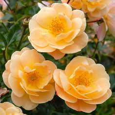 "Flower Carpet Rose - Amber. Repin this photo to vote for ""Amber"" as your favorite rose color. *Visit the link to enter our rose giveaway!*"