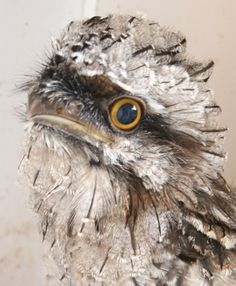 Tawny frogmouth! One of my favorites.