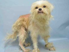 Brooklyn Center TAZ – A1092172  NEUTERED MALE, WHITE, SHIH TZU MIX, 5 yrs OWNER SUR – ONHOLDHERE, HOLD FOR ID Reason NO TIME Intake condition EXAM REQ Intake Date 10/03/2016, From NY 11692, DueOut Date 10/03/2016, I came in with Group/Litter #K16-076585.