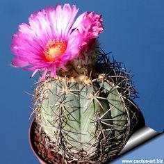 Echinocactus Horyzantolonus a Type of small barrel cactus.  Common names - Blue Barrel Cactus and Devil's Head Cactus