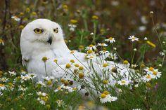 Snowy Owl by Paul - Herts, via Flickr