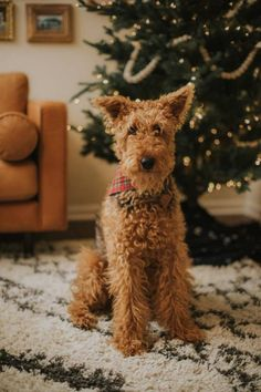 Airedale-Terrier Source by Airedale Terrier, Irish Terrier, Terrier Breeds, Terrier Dogs, Dog Breeds, I Love Dogs, Cute Dogs, Lakeland Terrier, Sweet Dogs