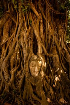 The stone Buddha head entwined in tree roots at Wat Mahathat, Ayutthaya in Thailand