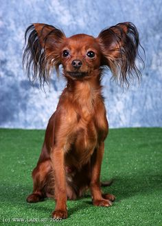Russian Toy. Russian Toy Terrier, English Toy Terrier, Terrier Dogs, Terriers, Adorable Animals, Funny Animals, Tibetan Terrier, Brussels Griffon, Lhasa Apso