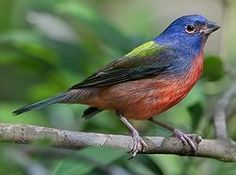 a Painted Bunting that has found it's way to the bird feeder in front of my bedroom window. Ah-mazingly gorgeous!! jvt