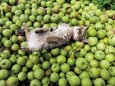 """Kitty-Cat:  """"It's cider-making time, so I help out as much as I can with the apple harvesting...""""  (Photo By: ⓒ Mitsuaki Iwago.)"""