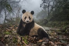 "Ye Ye, a 16-year-old giant panda, lounges in a massive wild enclosure at a conservation center in Wolong Nature Reserve. Her 2 year old cub, Hua Yan (Pretty Girl) was released into the wild after two years of ""panda training."" Her name, whose characters represent Japan and China, celebrates the friendship between the two nations."