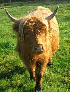 Highland cow from Hidden Meadow Farm, Nova Scotia