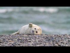 Kegelrobbe - Gray Seal - Halichoerus grypus on Helgoland, Germany
