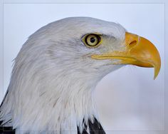 Learn trick photography and special effects here Nikon D300, Snowy Day, Photo Editor, Bald Eagle, Free Images, Photography Ideas, Wildlife