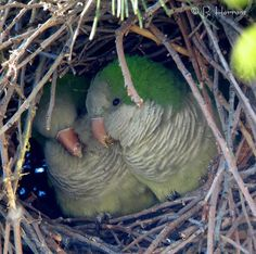 quaker parrots in nest