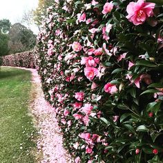 Camellias growing en masse at a neighbouring property this afternoon – we love t… - Modern Privacy Landscaping, Landscaping With Rocks, Garden Landscaping, Privacy Fences, Small Garden Landscape, Landscape Design, Big Garden, Easy Garden, Garden Ideas