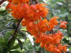 [Berberidaceae] Berberis linearifolia Phil.