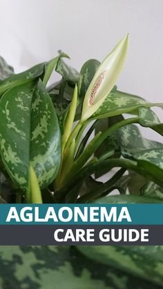 If you need some help or pointers for growing a good looking (Chinese Evergreen) this comprehensive guide teaches you everything you need to know!
