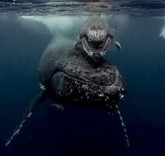 """ Image taken in Vava'u, Kingdom of Tonga by talented Traveller and Underwater Photographer Michaela Skovranova - Today a baby whale smiled at us and it was life moment Amazing Animals, Most Beautiful Animals, Beautiful Creatures, Underwater Photography, Animal Photography, Animal Movement, Delphine, Ocean Creatures, Humpback Whale"