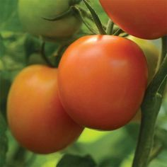 'Perfect Flame' , a 'Peron' and 'Flamme' hybrid, produces medium-sized, orange saladette tomatoes in 65 to 70 days. The plant can reach heights of 7 feet, so make sure to cage and stake for best results. Tomato Garden, Tomato Plants, Vegetable Garden, Planting Vegetables, Planting Seeds, Free Fruit, Tomato Seeds, Marriage, Herbs