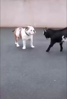 Practice Makes Perfect! Patient Bulldog and Baby Goat - Hunde - Practice Makes Perfect! Patient Bulldog and Baby Goat Informations About Practice Makes Perfect! Funny Animal Memes, Cute Funny Animals, Funny Animal Pictures, Cute Baby Animals, Funny Dogs, Animals And Pets, Cute Dogs, Cute Animal Humor, Funny Memes