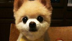 Shunsuke, a 9 year old pomeranian from Japan. Aaaaahhh...