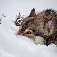 Wolf in the snow Wolf Photos, Wolf Pictures, Wolf Spirit, Spirit Animal, Beautiful Creatures, Animals Beautiful, Animals And Pets, Cute Animals, Wolf Hybrid