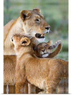 Lioness and two cubs